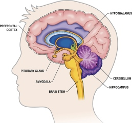 Brain Cross-section with labels